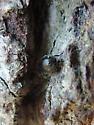 Small Black Beetle - Laricobius nigrinus