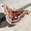 Giant Moth! - Hyalophora columbia - female