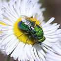 Chrysid Wasp?