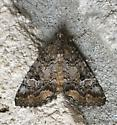Moth - Eubolina impartialis
