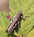 Grasshopper - Melanoplus femurrubrum - male