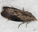 Greater Wax Moth - Hodges #5622 - Galleria mellonella