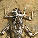 Stonefly Exuviae on Rock - Paragnetina immarginata