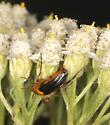 Ripiphoridae - Macrosiagon limbata - female