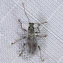 Asiatic Oak Weevil ? - Cyrtepistomus castaneus