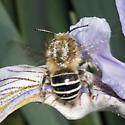 Anthophorid(?) on Iris flower - Anthophora californica