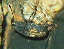 Fungus Female - Piesocorynus plagifer - female