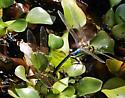 Green Darner Couple  - Anax junius - male - female