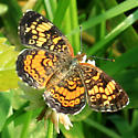 Pearl Crescent ? - Phyciodes tharos