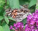 A lepidopteran - Vanessa virginiensis