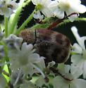 Flower Scarab? - Hoplia trifasciata