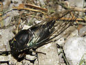 female lyric cicada-dorsal view/Tibicen lyricen engelhardti - Neotibicen lyricen - female