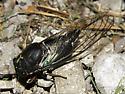 female lyric cicada-dorsal view/Tibicen lyricen engelhardti - Neotibicen lyricen - female