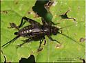 Cricket sp - Allonemobius - female