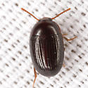 Darkling Beetle - Platydema micans