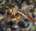 Hanging Thief - Diogmites angustipennis