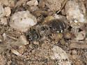 8037144 bee - Calliopsis
