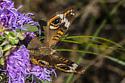 Buckeye Junonia coenia - Junonia coenia