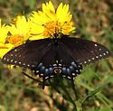 Papilio polyxenes ? - Papilio polyxenes - female
