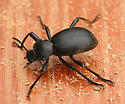 Large Darkling Beetle - Coelocnemis californica