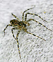 Spider - Dolomedes - male