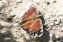 Butterfly - unknown - Nymphalis antiopa