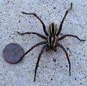 Unknown Spider - Rabidosa rabida