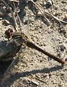 Dragonfly - Sympetrum