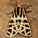 Mexican Tiger Moth? - Apantesis proxima