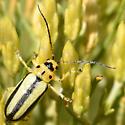 Leaf Beetle - Trirhabda
