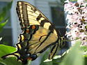 Big yellow butterfly - Papilio canadensis - female