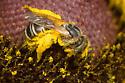 Ligated Furrow Bee - Halictus ligatus