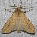 Long-streaked Tussock Moth - Hodges#8217 - Leucanopsis longa