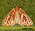 Sabulodes niveostriata - female