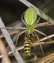 Spider with wasp from Edgewood Park - Peucetia longipalpis - female