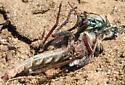 Robber fly w/tiger beetle prey - Proctacanthus milbertii