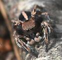 Spider - Habronattus calcaratus - male