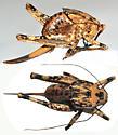 Mormon Cricket from Nevada - Aglaothorax ovata - female