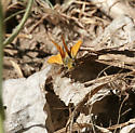 Skipper - Copaeodes aurantiaca
