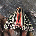 Parthenice Tiger Moth - Apantesis parthenice