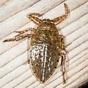 Giant Water Bug Nymph - Lethocerus americanus
