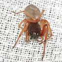 Sac Spider - Trachelas