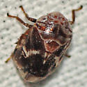 Eight-spotted Spittlebug - Clastoptera octonotata