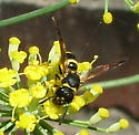 Mason Wasp - Ancistrocerus - female