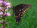 What marking on this Papilio troilus distinguishes whether male or female? - Papilio troilus