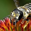 Megachile - perhaps montivaga? - Megachile pugnata - female