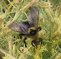 Unknown Bumble Bee on Rubber Rabbitbrush - Bombus insularis
