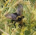 Unknown Bumble Bee on Rubber Rabbitbrush - Bombus insularis