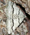 Curve-lined Angle Moth, a white and grey moth with black lines - Digrammia continuata