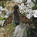 Bee fly - Hemipenthes sinuosa